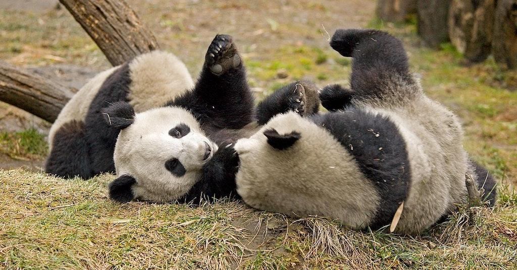Giant pandas rolling around