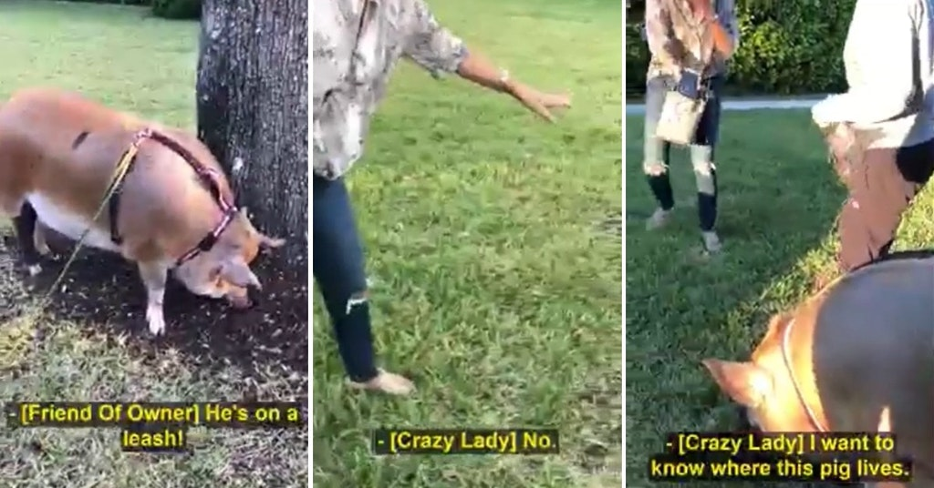 Video of a woman supporting a pair on a walk with an emotional support pig on a leash